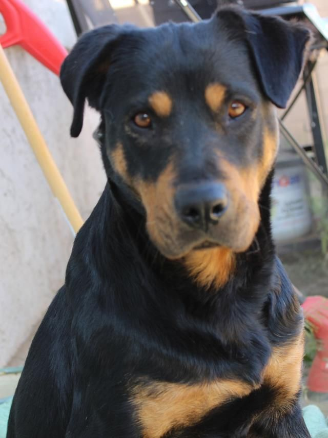PetHarbor.com:  ID#1230393  I am a female Rottweiler.  My finder says I am under 1 year old. I have the following characteristics: Petite, 1 year old female Rottweiler/Lab mix with docked tail. Very skittish/scared.  Someone found me on 4/1/14. I was found at Watson & 134th Ln.