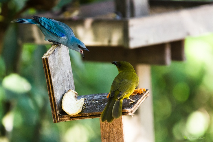 The sanhaçu-of-meeting-blue is a passerine bird of the tanager family.