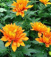 Fall Flowers & Flowering Perennials Plants