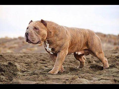 Kangal El Perro mas Grande del Mundo ,Características e ...