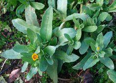 Calendula arvensis ( calendola, fioraccio) Usi in cucina. Si raccolgono le giovani foglie e si usano nei misti ( e molto amara) inoltre, un bel rametto completo di fiori, lo si può introdurre in una bottiglia contenente dell'ottimo aceto di vino, ottenendo cosi un aceto personalizzato. I fiori uniti ai brodi ed ai risotti, tingono di giallo al pari dello zafferano.