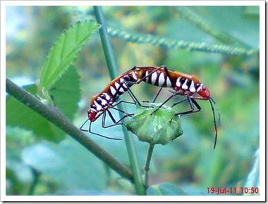 Dysdercus cingulatus Serangga dengan Nama Jawa Bapak Pucung