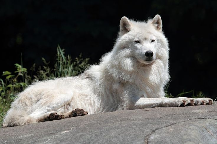 The arctic wolf (Canis lupus arctos), also called snow wolf or white wolf, is a subspecies of the gray wolf, a mammal of the family Canidae. Arctic wolves inhabit the Canadian Arctic, Alaska and the northern parts of Greenland. They also have white fur and long canine teeth for killing their prey.