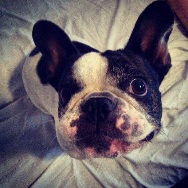 #CuriousFrenchie #Frenchie #FrenchBulldog