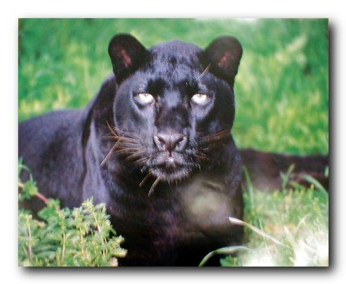 Amazing! Decor your home walls with this wonderful black leopard wildlife art print poster. This poster captures the image of black leopard sitting in a forest looking at something with his big brown eyes which look superb and sure to grab lot of attention. It will help you to turn your home into a tropical wildlife century and will be a great addition for nurseries and children's bedrooms. Order today and enjoy your surroundings.