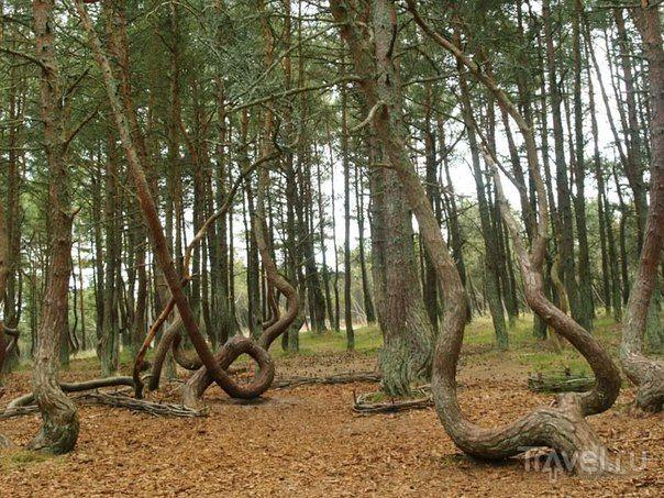 Легенда о танцующем лесе.<br><br>Древние пруссы поклонялись могучим деревьям. Язычники не знали истинного Бога, и защиты от бушующих стихий искали в священных дубравах. <br><br>В те времена коса была островом, покрытым высоким лесом. Попасть сюда можно было только через широкий пролив. Воины-прус..