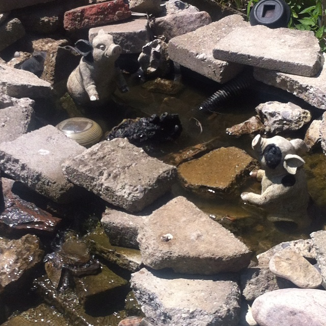 Piggys playing in the backyard pond :)