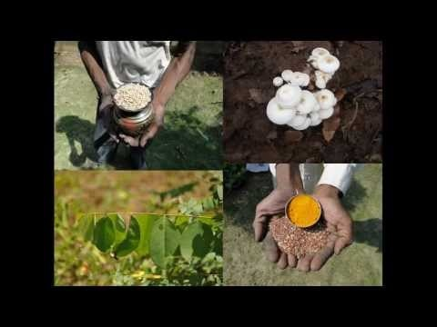 Medicinal Rice P5H Formulations for Opilia Excess: Pankaj Oudhias Medic...