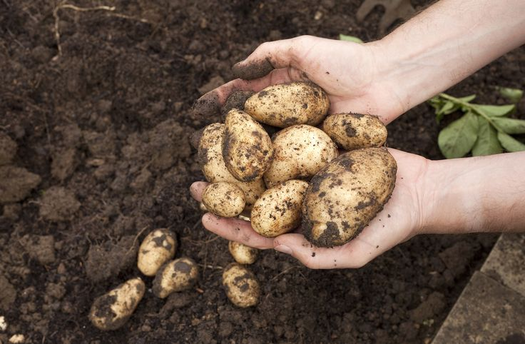 Researchers in the US and Norway have discovered the origins of the potato late blight which caused the Great Irish Famine