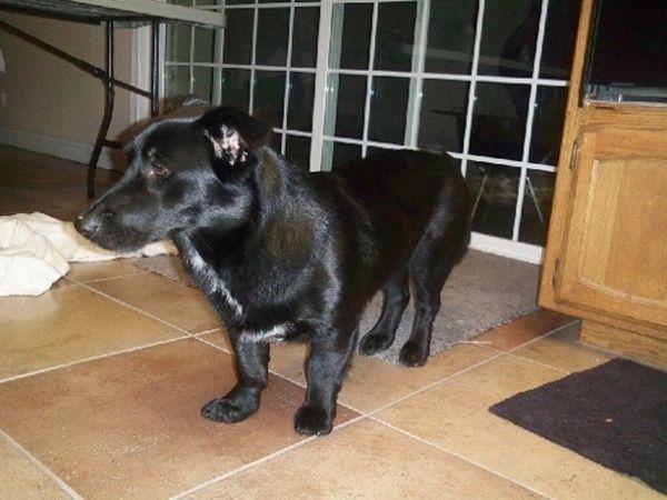 Adorable pictures of Corgi cross-bred dogs   A Doggie Bloggie