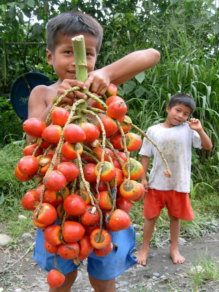 Very popular in the Brazilian Amazon, the tucumã fruit has high nutritional value and can be used in ice cream, sweets and jams. Tucumã wine can be made from the pulp. AmazonDrops uses tucumã in its skin care products.