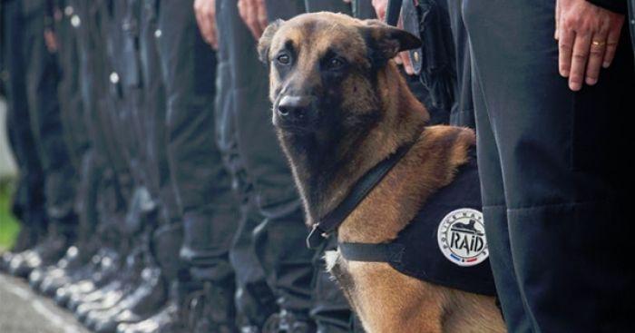 Pétition : Pour que Diesel, le chien du Raid tué par les terroristes soit décoré de la médaille d'honneur pour acte de courage et de dévouement Chien.fr