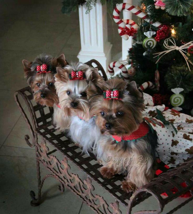 """Yorkie's """"Waiting for Santa"""" ❤"""