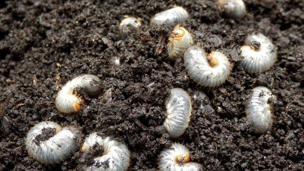 Die Maikäferlarve schadet lebenden Gewächsen - es ist also besser, ihnen vorzubeugen. (Quelle: Thinkstock by Getty-Images)