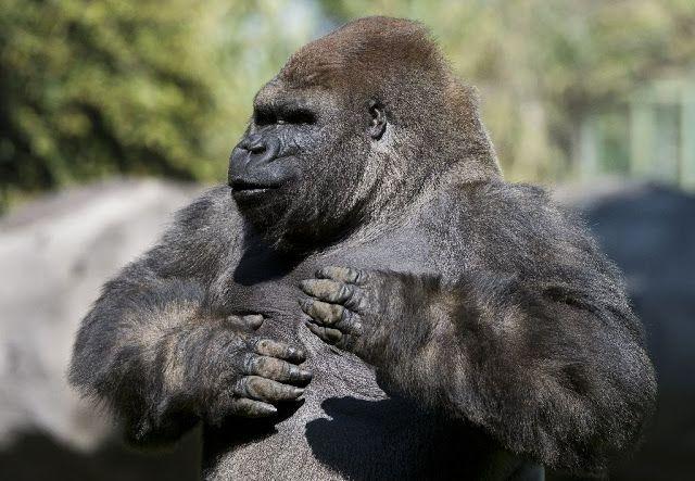 Foto: Omar Torres El gorila Bantú ha muerto en el zoológico de Chapultepec cuando estaba en ple...