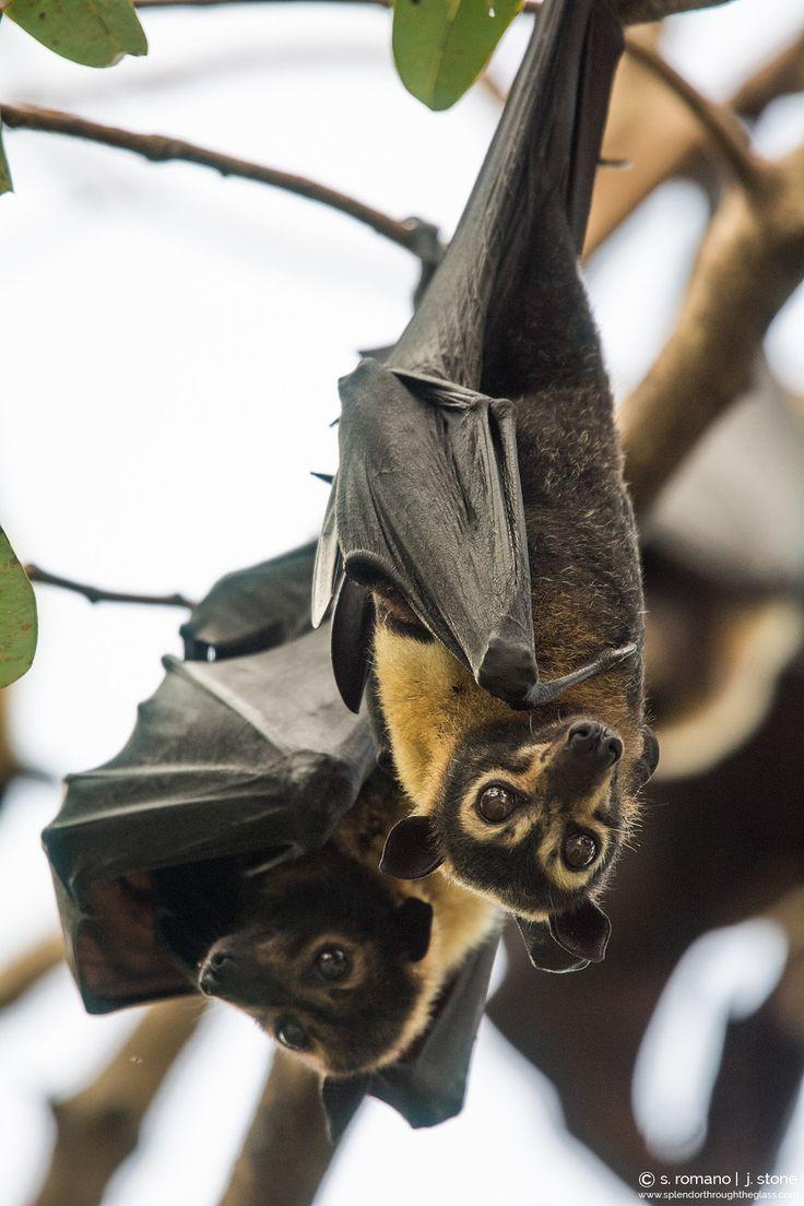 the 25 best fox australia ideas on pinterest bats bat flying