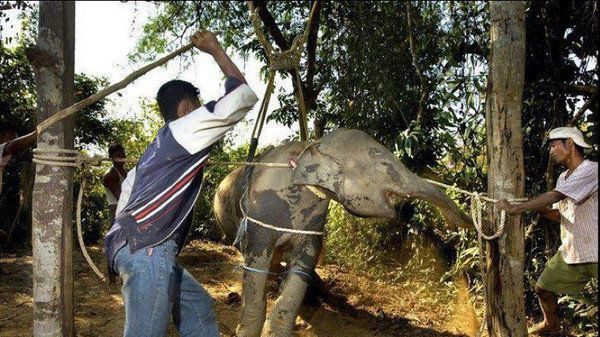 Petition · Prakash Javadekar, Minister of Environment India, Narendra Modi, Prime Minister of India, Prime Minister of Thailand, Prayut Chan-o-cha, Minister of Environment Thailand, Krasua Theknoloyi: Please STOP the Torture and Abuse of Captive Elephants in Indi... · Change.org