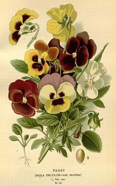 Pansy, Tricolor: Favourite flowers of garden and greenhouse,1896-97