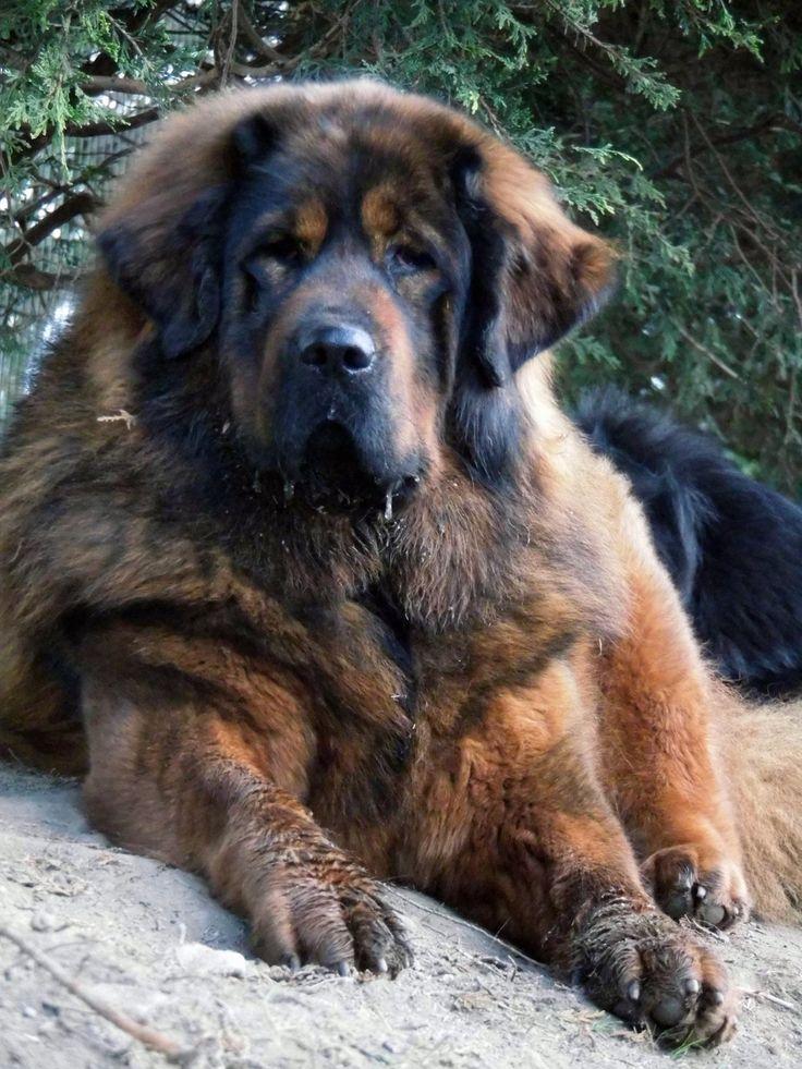 Lovely gold/red tibetan mastiff   Tibetan mastiff. Red tibetan mastiff. Pet hacks