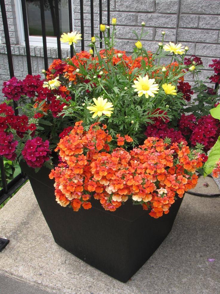 Black container flower arrangement Summer 2012 Verbena Empress Burgandy / Angelart Orange Nemesia / Argyranthemum (Marguerite Daisy)