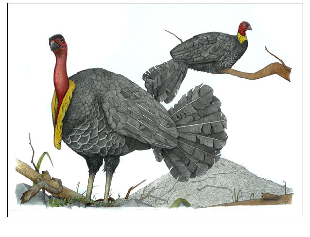 Australian Brush Turkey. Ink, pen and watercolour by Angus Fisher.