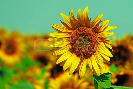 Vintage look at sunflower in a field under sky.