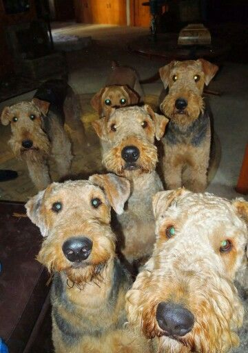 One of these things is not like the others, ....Airedale Armageddon !