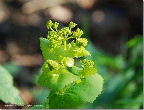 Sophie explique parfaitement comment réussir cette trisannuelle : le smyrnium perfoliatum. J'ai  reçu des graines généreusement offertes par Maurice Laurent, semées en 2013, et qui viennent enfin de fleurir en avril 2016. C'est une plante pour les jardiniers patients mais quelle récompense  : ce vert fluo est exceptionnel. La fois prochaine je planterai des soucis oranges vifs à ses pieds, et une euphorbe vert chartreux à tiges pourpres qui fleurit au même moment.... vivement l'été 2019  :)…