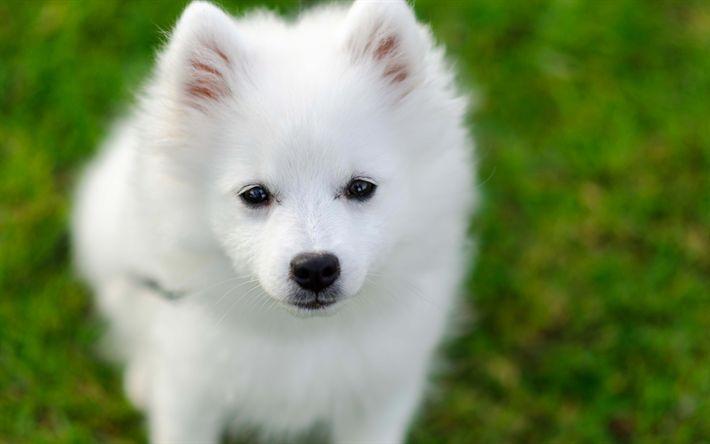 Download imagens Samoyed, 4k, filhote de cachorro, Samoyed Laika, cachorros, animais fofos
