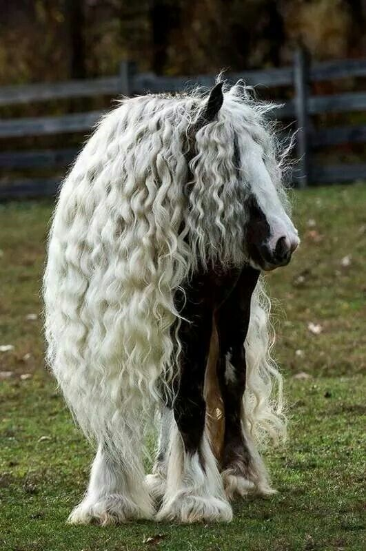 A very well maintained horse. His hair is kept braided (notice the waves) to keep it out of his/her way to enable to grow so long and thick.