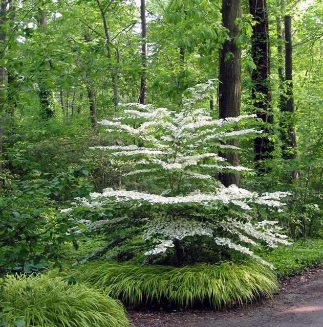 Flowering dogwood with hakonechloa (Japanese forest grass) border, shade gardening