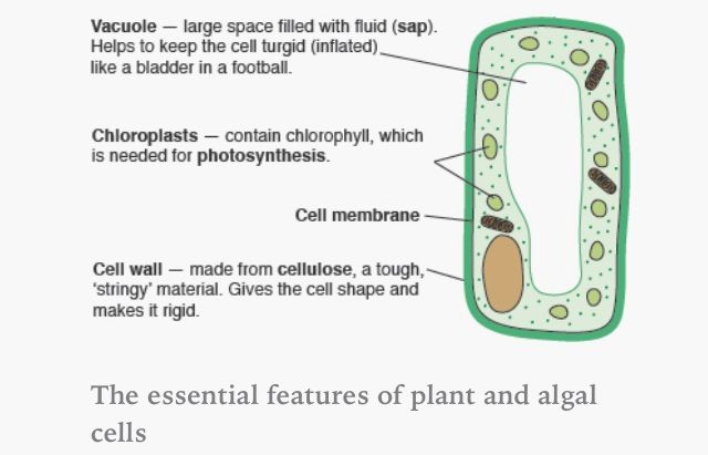 Plant cell. | AQA B2 | Pinterest | Plant cell and Plants