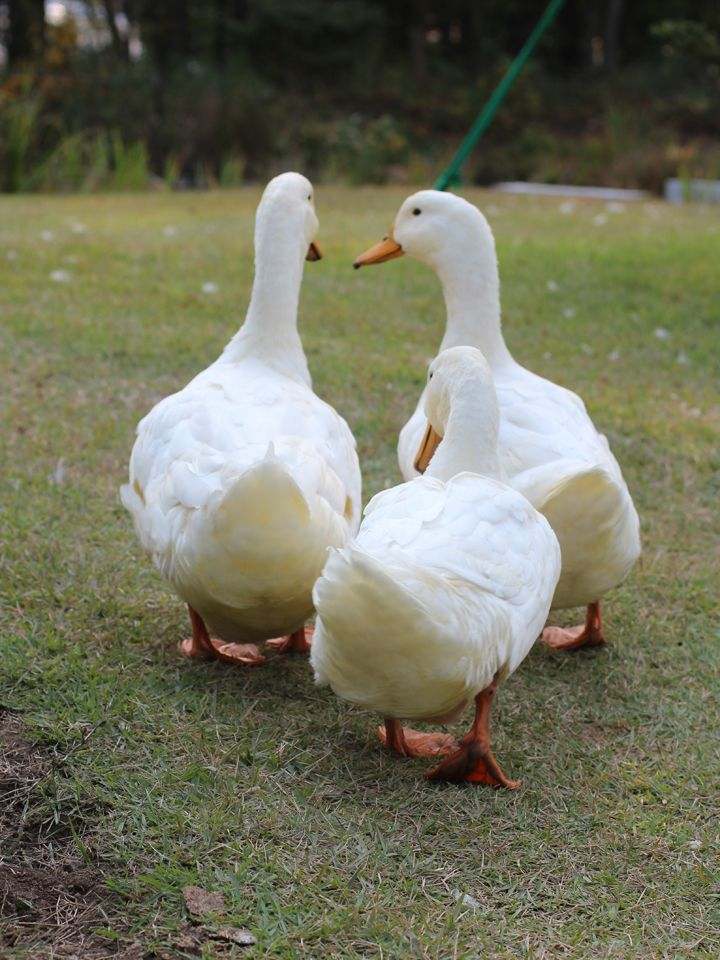 Geese-no. These are Peking Ducks.