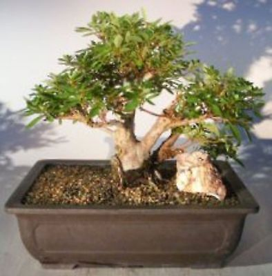 Bonsai for Sale Flowering Chinzan Azalea Bonsai Tree 32 Years Old K6237