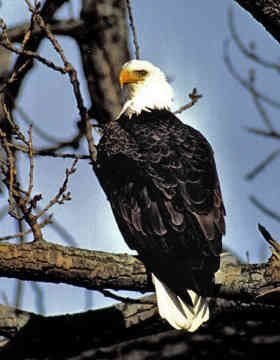 American Bald Eagles - 1 - American Bald Eagle Birds