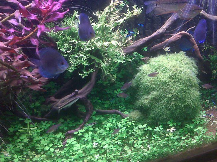 Planted display aquarium www.fishkeeper.co.uk  #AquariumPlants