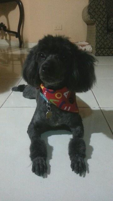 Mi perrito lindo, recien peluqueado.