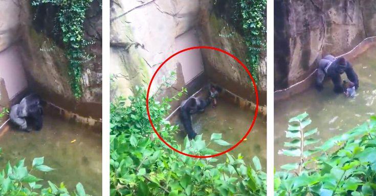 Un nuevo video reveló que el gorila Harame sólo protegía al niño en el zoologico de Cincinatti; dispararle fue violencia innecesaria; piden cargos para padres