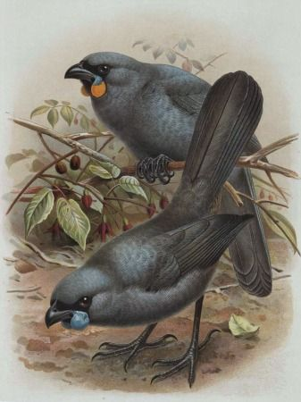 Kokako by John Keulemans for Sale - New Zealand Art Prints