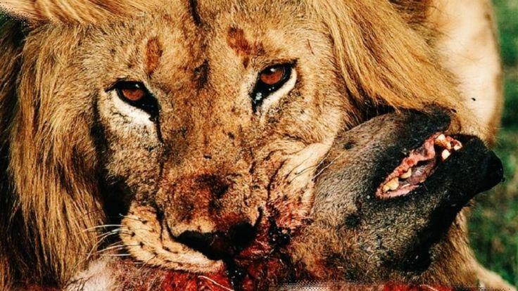 Leões vs Hienas | Eternos Inimigos Mortais - http://www.planetaselvagem.com/leoes-vs-hienas-eternos-inimigos-mortais/