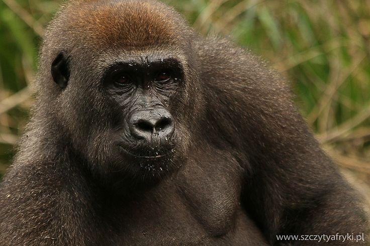 Gabon - Lekedi Park - Goryl nizinny || www.szczytyafryki.pl || #Gabon #Goryl #Afryka