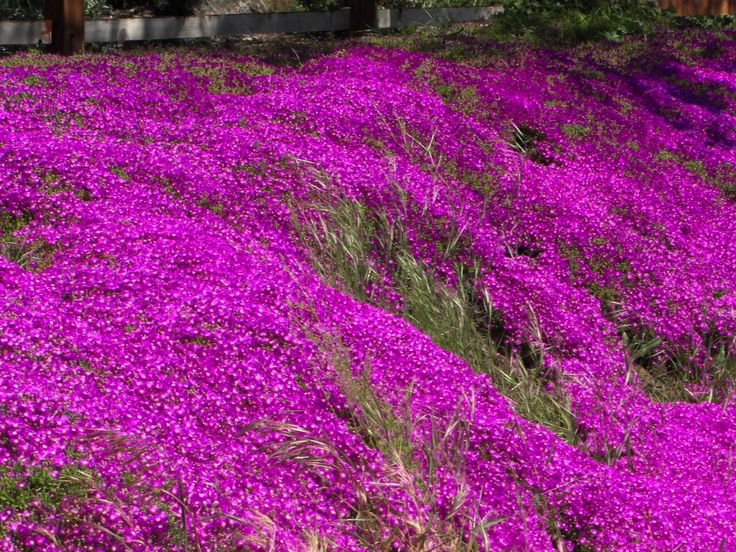 Lampranthus spectabilis--Trailing Ice Plant. Extremely drought tolerant. Great sunny groundcover. Great in sunny windowboxes. Blooms all summer. Will tolerate winter temps down to about 20F. Good in ATL winters.
