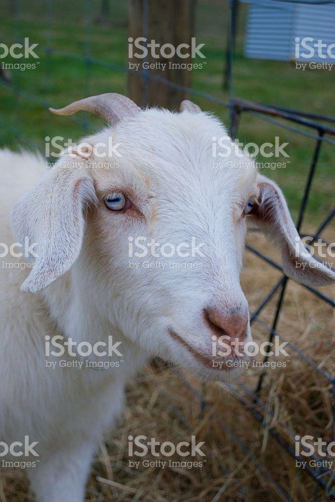 Kiko Goat (Rare New Zealand Breed) royalty-free stock photo