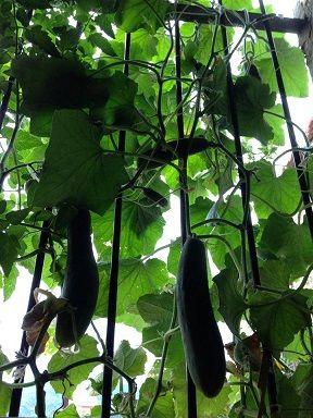 comment faire pousser des concombres sur son balcon ?