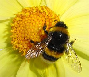 Google Image Result for http://www.dailygalaxy.com/photos/uncategorized/2007/10/16/bumblebee_3.jpg
