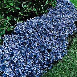 Blue Clips Campanula Quickly Fills A Sunny Border Edge With Color Profusion Of Flowers Covers This Low Growing Perennial Multiplies Rapidly