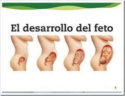 Resultado de imagen para desarrollo embrionario para niños preescolares
