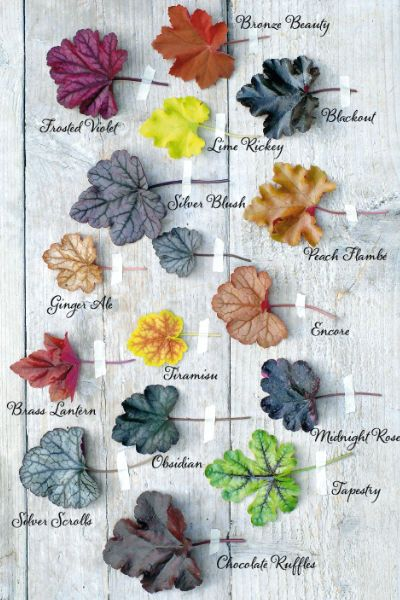 Heuchera:  • 'Brownies':chocolate;40cm  • 'Cappuccino':brown;30cm  • 'Caramel':caramel;40cm  • 'Crème Brûlée':caramel w/ ocher;40cm  • 'Ginger Ale':bronze yellow marbled;50cm  • 'Marmalade':source yellow to orange brown;30cm  • 'Mocha':dark brown-red;30cm  • 'Peach Flambé':bronze;45cm  • 'Pinot Gris':in spring orange marbled leaves, changing to silver / brown;35cm  • 'Plumpudding':plum purple, shiny;50cm  • 'Tiramisu':red marbled w/ yellow border, changs to yellow-green w/ red;30cm