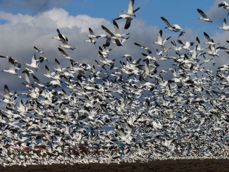 thousands of geese