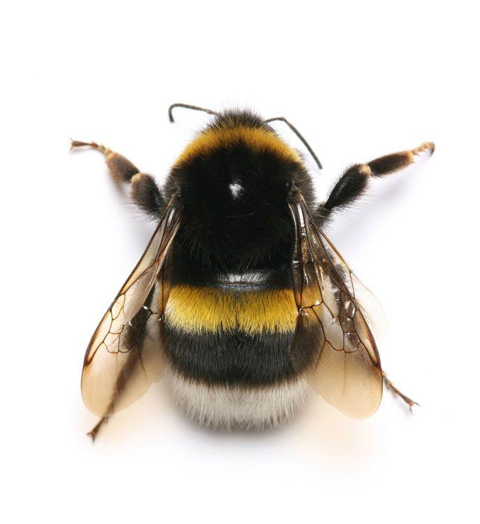 bumble-bee.jpg (687×750)                                                                                                                                                      More